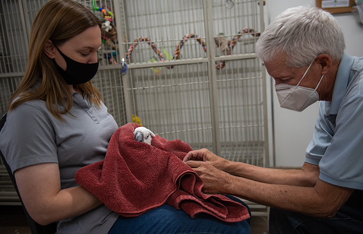 Person holding Lollipop the cockatoo in a towel while volunteer Rick Eddy does muscle alignment and restoration on the parrot's feet