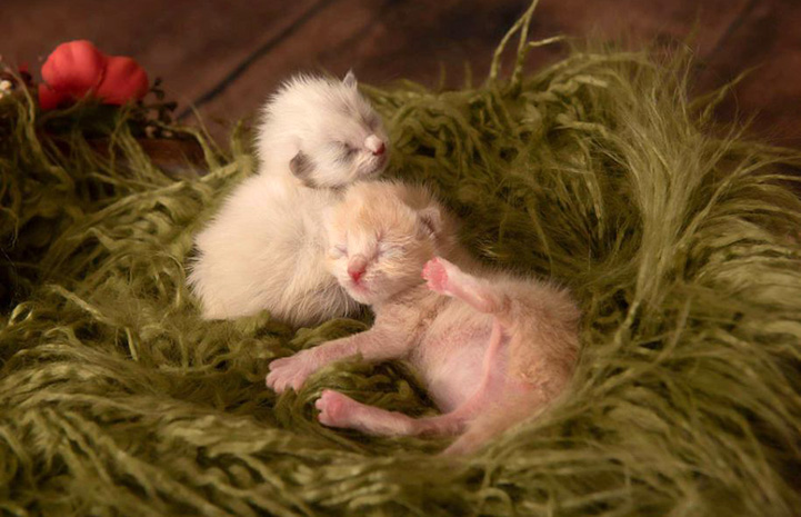 Two neonatal kittens lying on a light green fluffy blanket made in to a nest