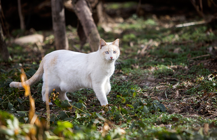 Siamese mix community cat with ear tip walking in the woods