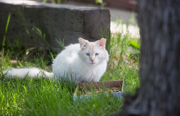 Cream colored community cat with blue eyes and an ear tip behind a small box full of cat food