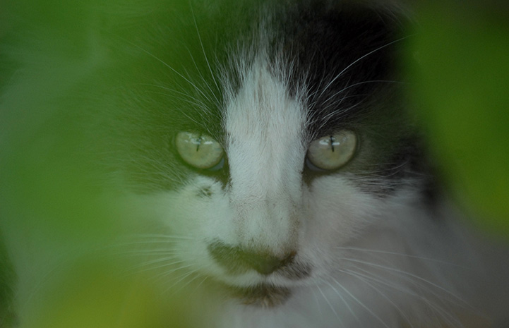 Gray and white community cat behind some green foliage