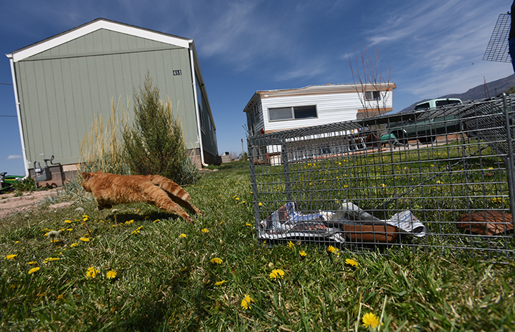 TNR also improves the health and welfare of cats, orange tabby cat running after being released from a humane trap
