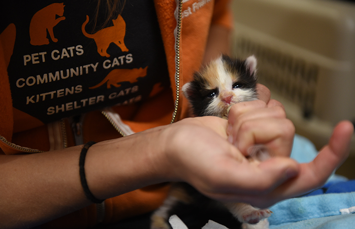 The bathrooms at Sevier County Fairground became an impromptu kitten nursery, with a person syringe feeding a young calico kitten