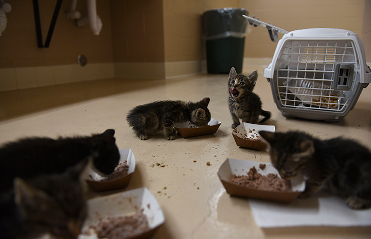 As for the 32 kittens rescued by Best Friends, they are young enough to become friendly with people