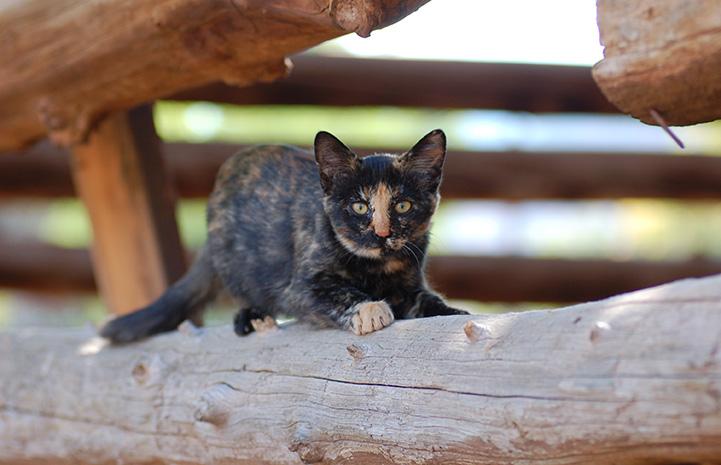 Tortoiseshell community cat lying on a wooden log railing