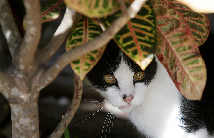 Black and white community cat under a croton plant