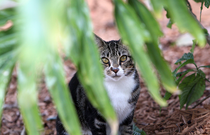 Brown tabby and white community cat behind a plant
