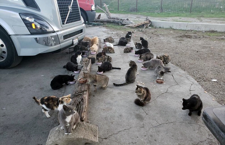 A large colony of community cats eating out of bowls on the ground in front of a truck