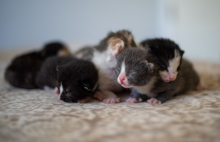 Litter of neonatal kittens, still with eyes closed, bunched together on a blanket