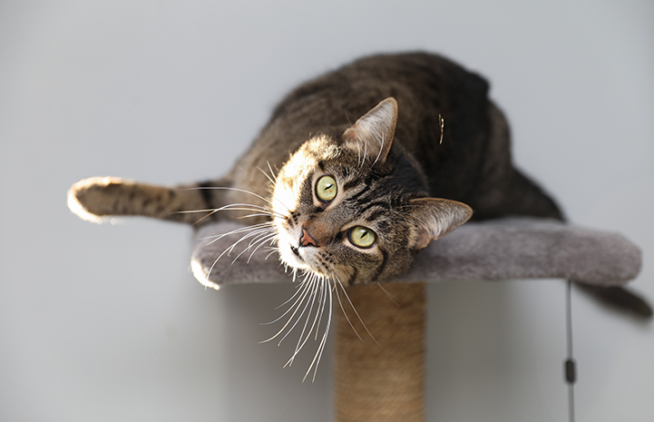 Sheba the cat lying on a cat tree