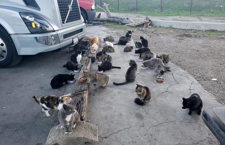 Group of community cats gathering to eat next to a semi truck