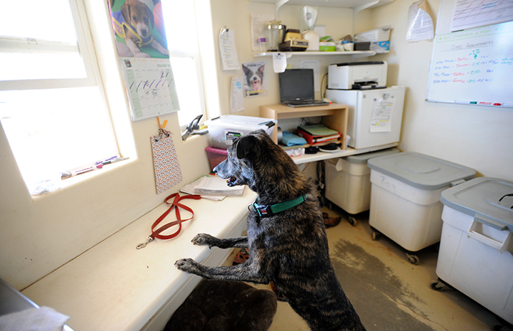 Brindle colored dog with both front paws up on a kitchen counter at the Sanctuary