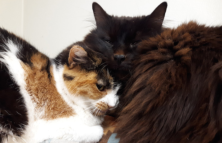 A calico and a black cat snuggled up next to each other