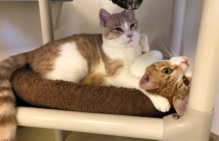 Two orange tabby and white cats snuggled together on a PVC cat tree