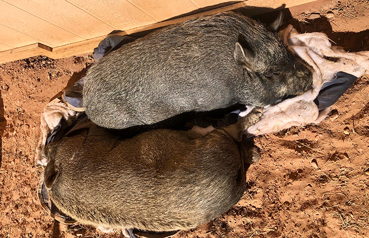 Two potbellied pigs lying side-by-side next to each other in the sand