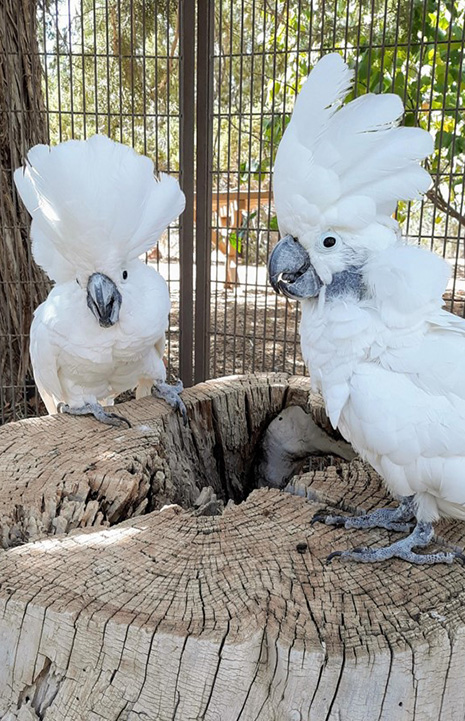 Two cockatoos with their crests up standing on a stump