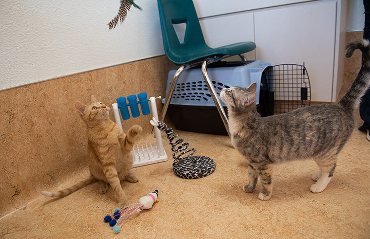 Both Wilhelmina and Tres the kittens focused on some feathers from a cat toy