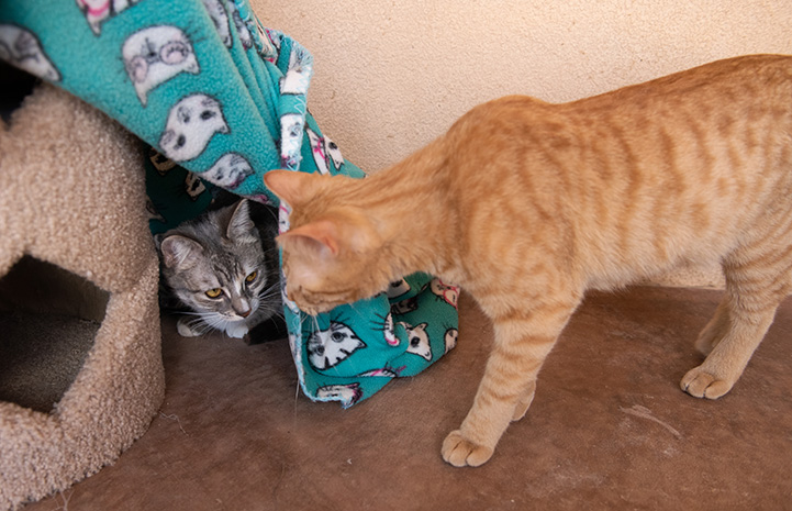 Wilhelmina the kitten peeking out from under a blanket and Tres the orange tabby kitten peeking in at her