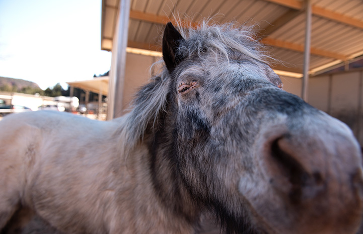 Fury the mini horse moving his face toward the camera for a kiss