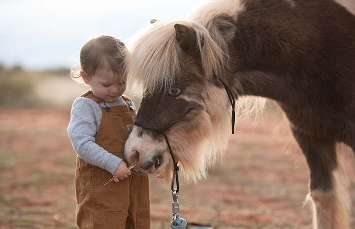 Phantom the paint colored mini horse with blue eyes with a young girl