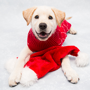 Blond Labrador puppy wearing red sweater with a Santa hat