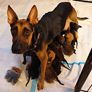 Adopt Daisy May and puppies available for adoption from Chicago
