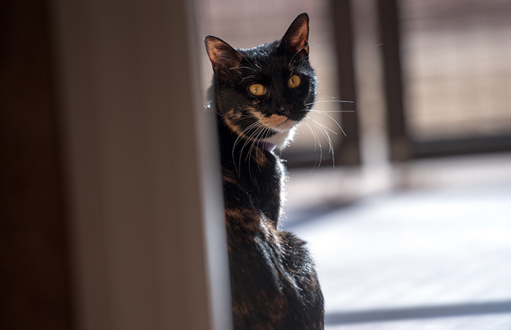 Jellybean the calico cat looking back over her shoulder toward the camera