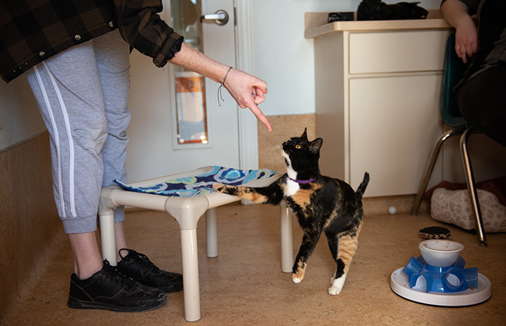 Jellybean the calico cat targeting toward a finger