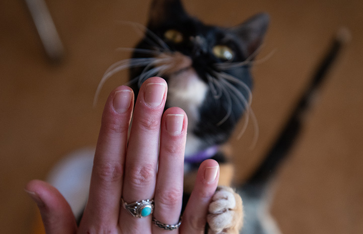The back of a person's hand with Jellybean the cat in the background and touching the hand with her paw