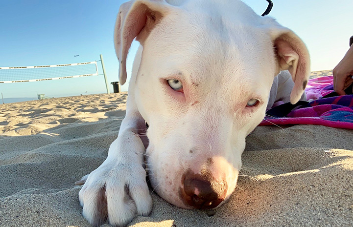 Delilah the pit bull terrier lying on the sand at a beach