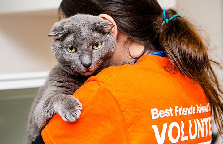 Teddy, the senior deaf gray cat,being held by a woman and looking over her shoulder