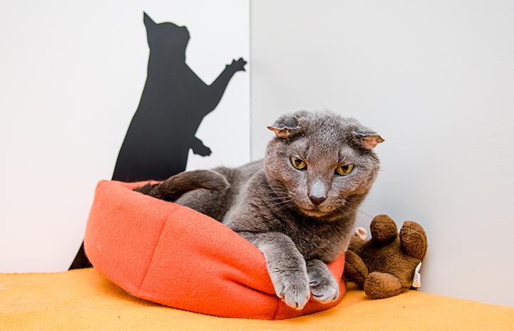 Teddy, the senior deaf gray cat, lying in an orange bed next to a stuffed teddy bear