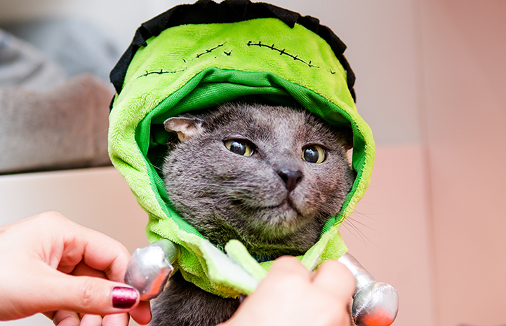 Teddy, the senior deaf gray cat, wearing his Frankenstein costume for Halloween