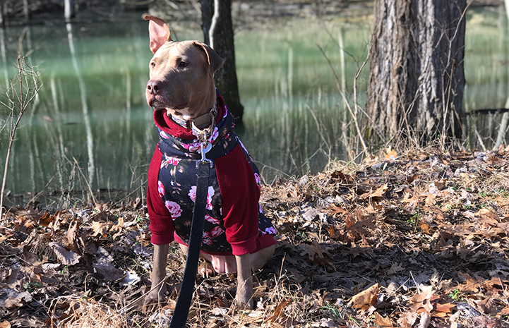 Kiwi the dog, on a leash and wearing a sweater, outside by some trees and fallen leaves