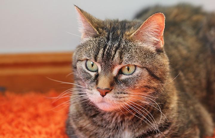 Brown tabby cat Yorbia on an orange carpet or blanket