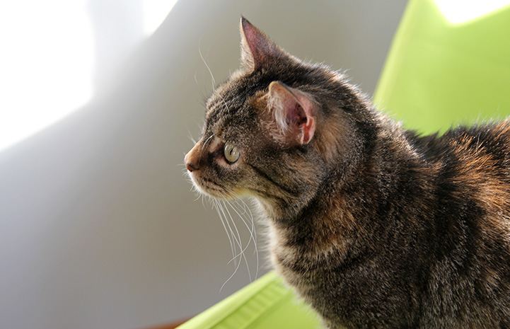 A profile of Yorbia the brown tabby cat with a green background