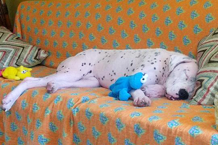 Rosie the dog, cleared of mange, sleeping on a couch