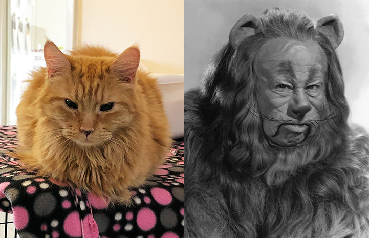 "Dennis the cat next to the Cowardly Lion from ""The Wizard of Oz"" as look-alikes"