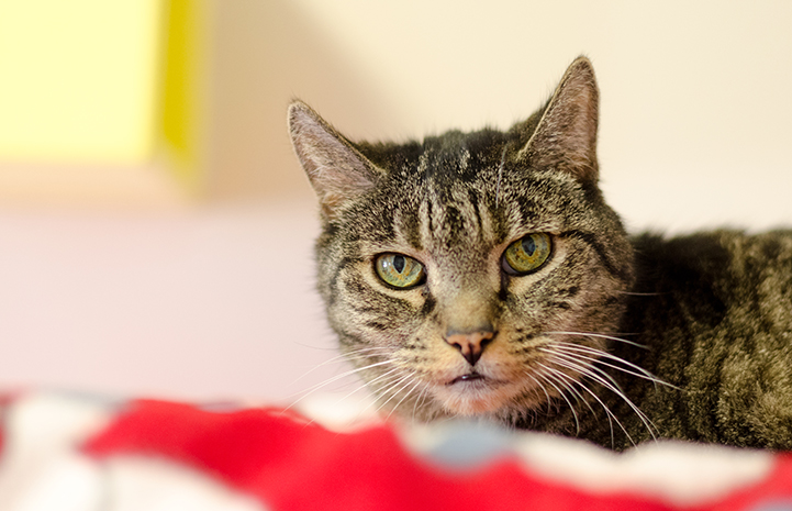 Brown senior tabby cat who has diabetes mellitus on a red and white blanket