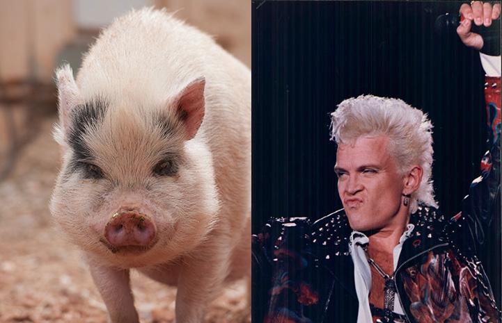 Diesel the potbellied pig next to Billy Idol as look-alikes