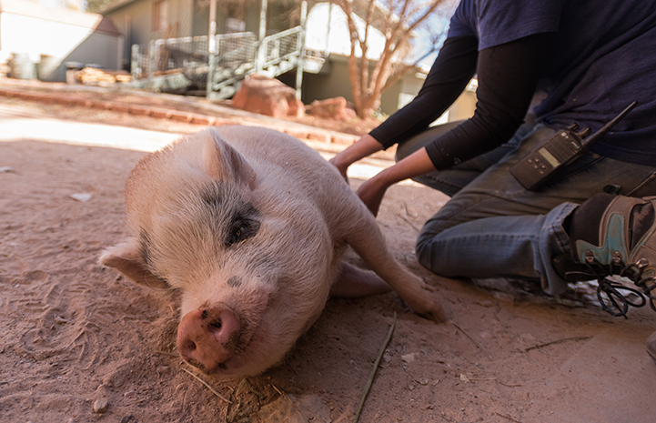 Once aggressive toward people, Diesel the potbellied pig now enjoys getting a belly rub