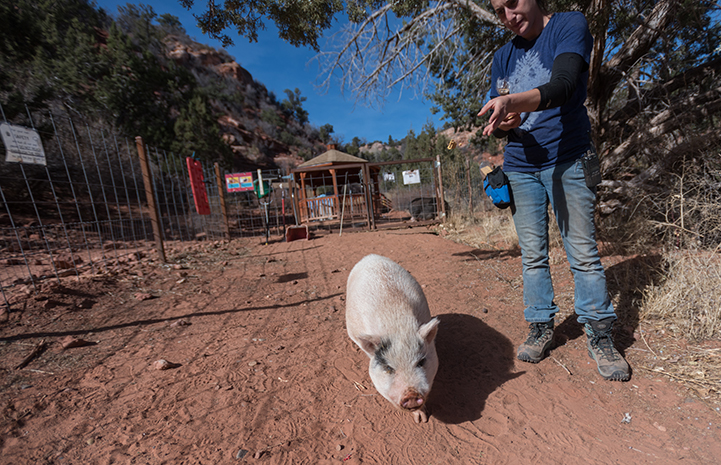 No longer ornery and aggressive, Diesel the potbellied pig has become a favorite walking buddy for staff and volunteers