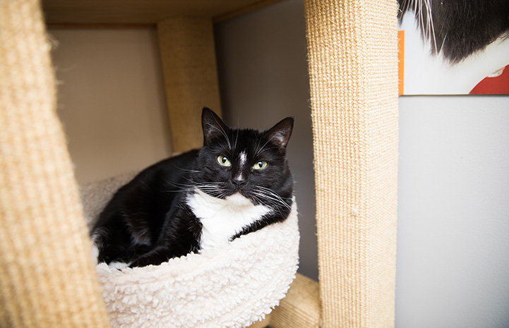 Arizona the black and white cat lying in a cat tree