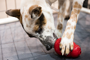 Heeler type dog licking a treat out of a red Kong dog toy