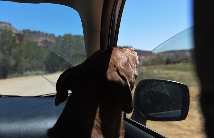 Rella the dog going on a car ride, looking out the window toward the rear view mirror