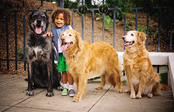 Ava the golden retriever with two other dogs and a smiling young girl