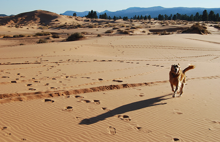 Ava the dog running in a sand dune
