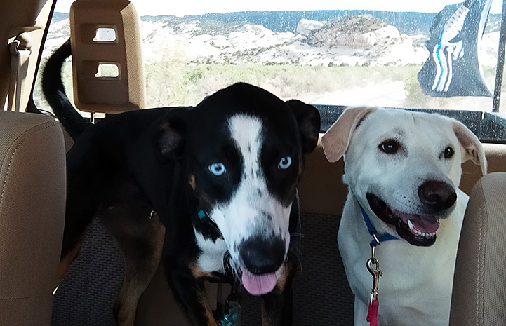 Bud and another dog sitting next to each other in the back seat of a vehicle