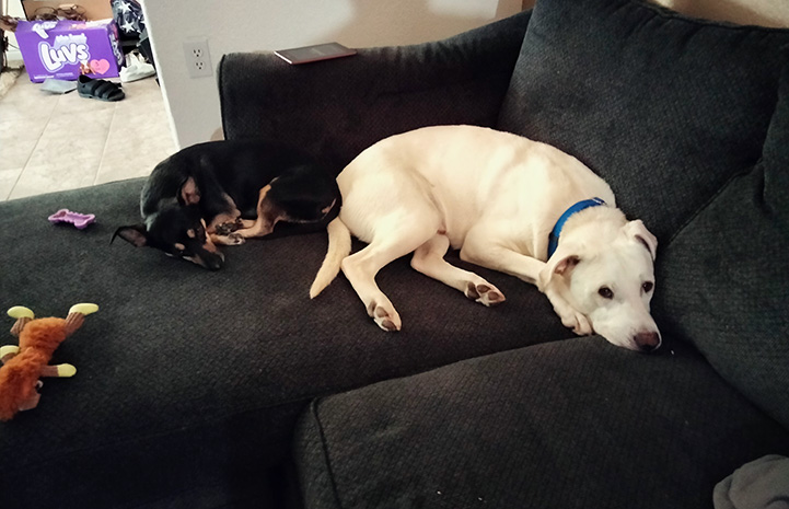 Bud and another dog lying next to each other on a couch
