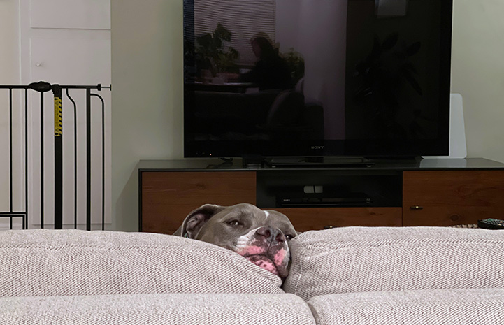 Cannoli the dog peeking up over the top of a couch with a television set in the background